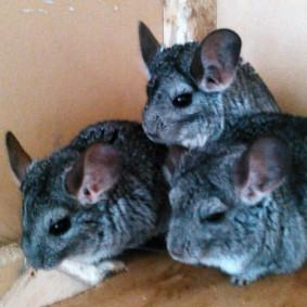 Chinchillas_283.jpg